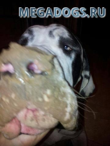 Извращенный аппетит у собак
