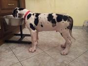 Кормление щенка немецкого дога